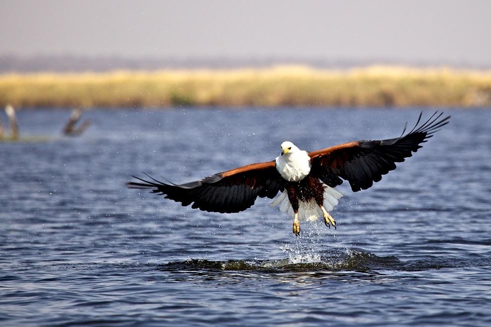 Fish Eagle   Botswana Safari