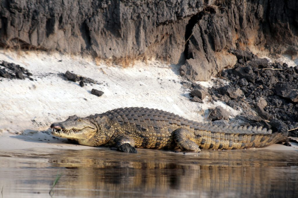 Crocodile   Botswana Safari