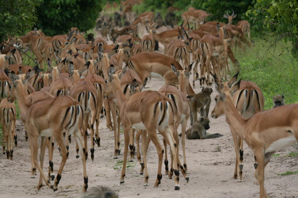 Impala    Botswana Safari