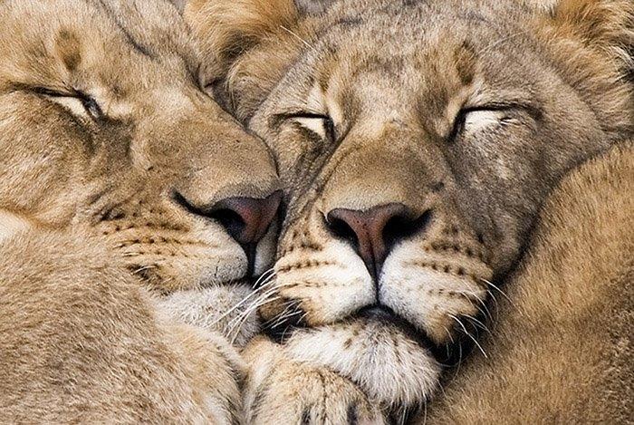 Lion   Botswana Safari