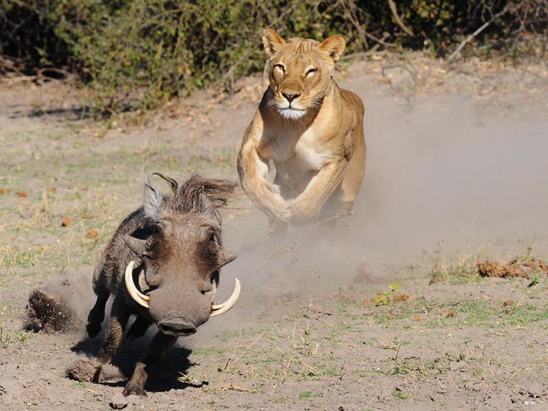 Warthog   Botswana Safari