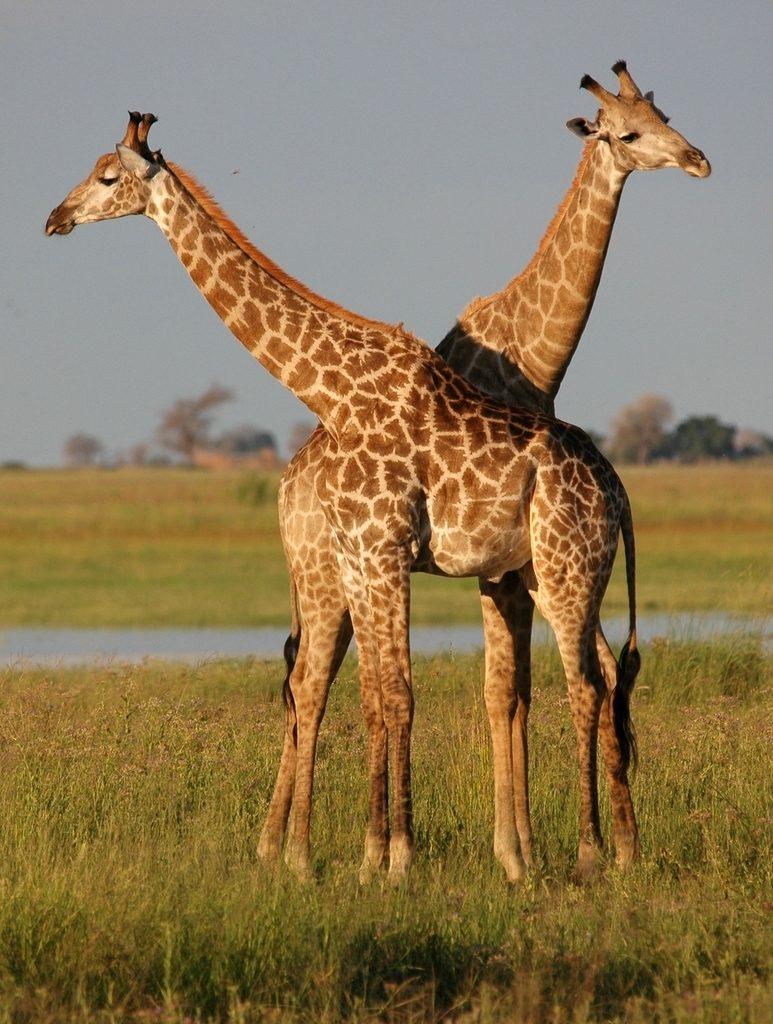 Giraffe   Botswana Safari