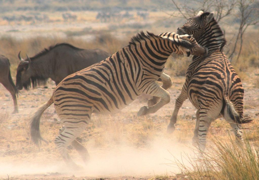 Zebra   Botswana Safari
