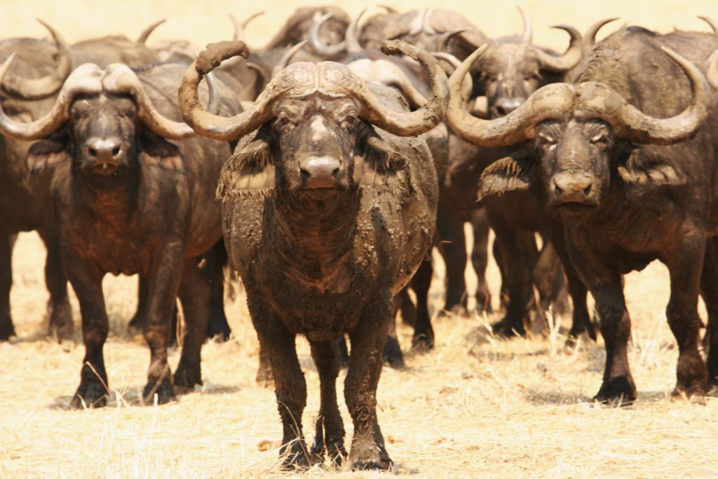 Cape Buffalo   Botswana Safari