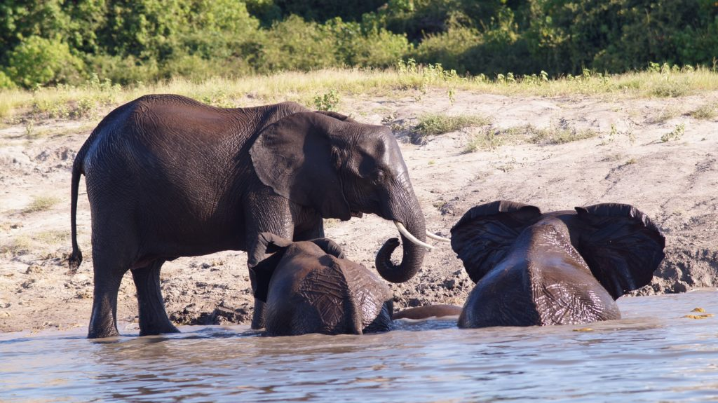 Elephant herd on Chobe River