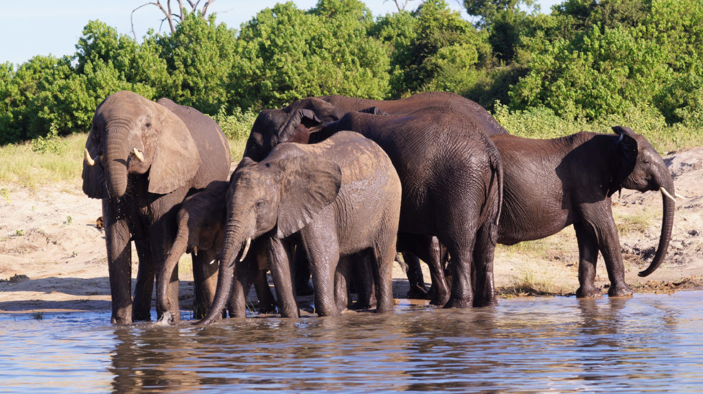 Elephant, Chobe River