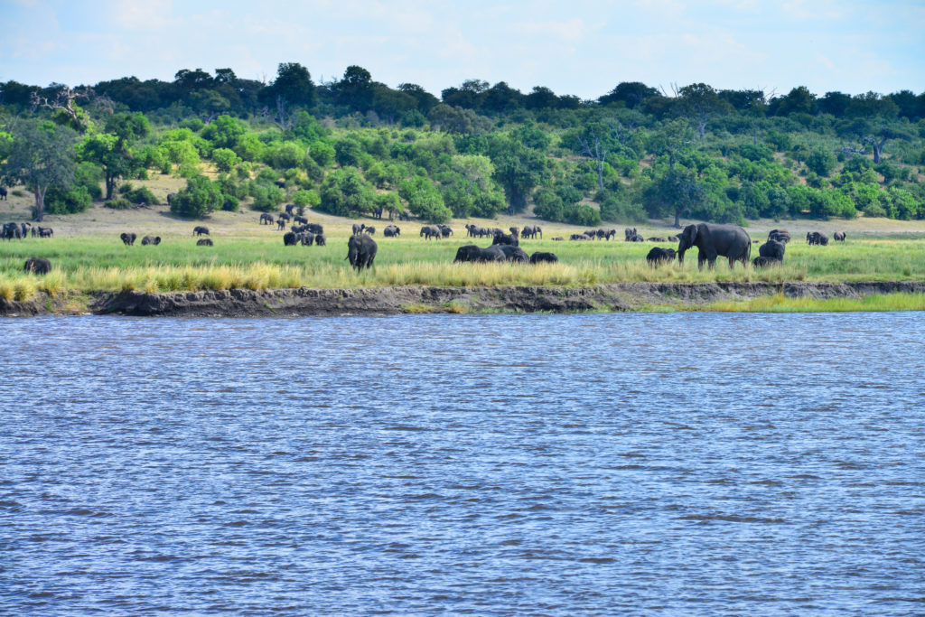 Elephants at Chobe national park