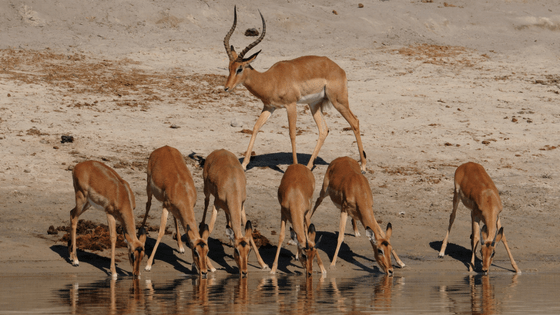 Chobe River | Green Season | Harem of Impala