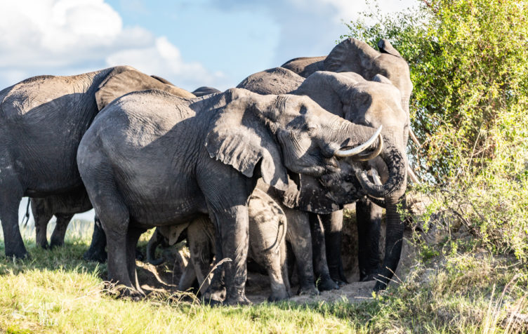 Elephants, Chobe National Park. Photography by Sinamatella Productions