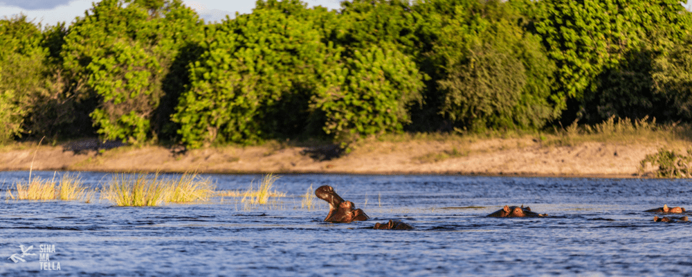 Hippos, Chobe River. Photography by Sinamatella Productions