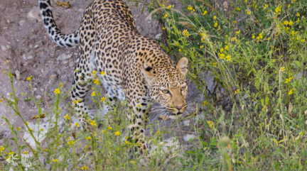 Leopard on the banks of the Chobe River. Photography by Sinamatella Productions