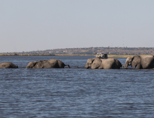 Experience the Chobe River Elephant Crossing